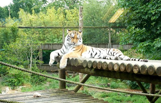 Tiger at wildlife paradise park