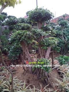 jual pohon bonsai beringin korea murah | bonsai beringin dollar harga terjangkau