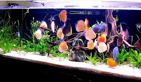 Mengenali Penyakit Discus parasit ikan hias discus