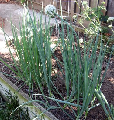 homegrown green onions scallions