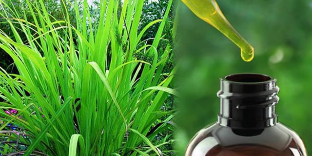 palmarosa yağı nedir, palmarosa faydaları nelerdir, üretimi, Www.KahveKafe.Net