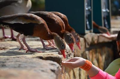 Meningkatkan Efisiensi Pakan Penting Dilakukan Dalam Peluang Usaha Ternak Bebek