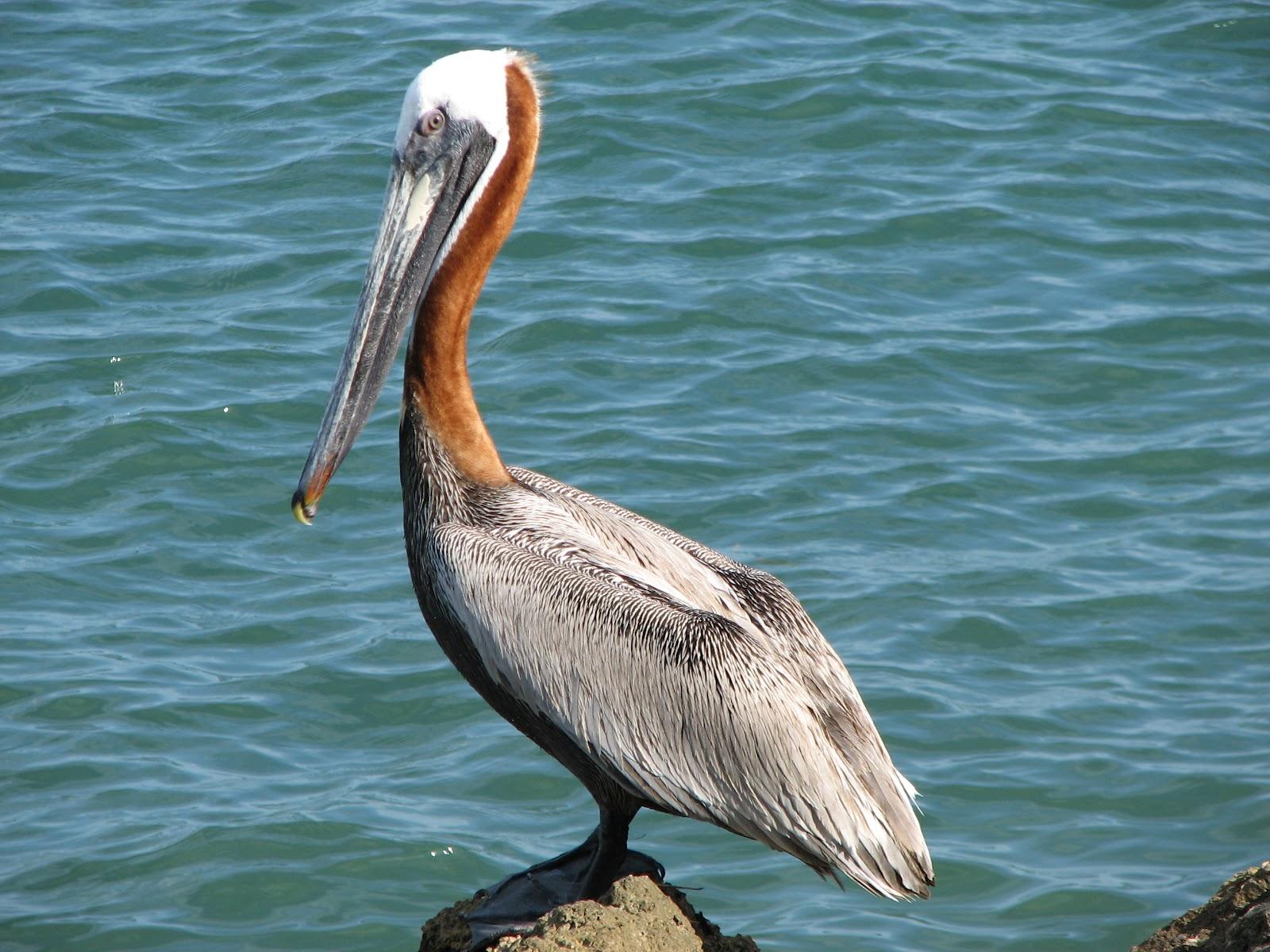 Bonao internacional esculturas de pelicanos frente a - Fotos de pelicanos ...