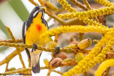 Prionochilus plateni - Palawan Flowerpecker