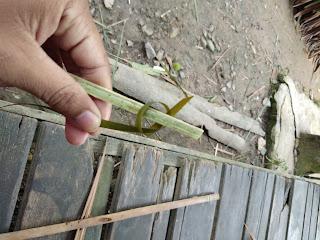 Ikat bingkauan dengan tali bamban