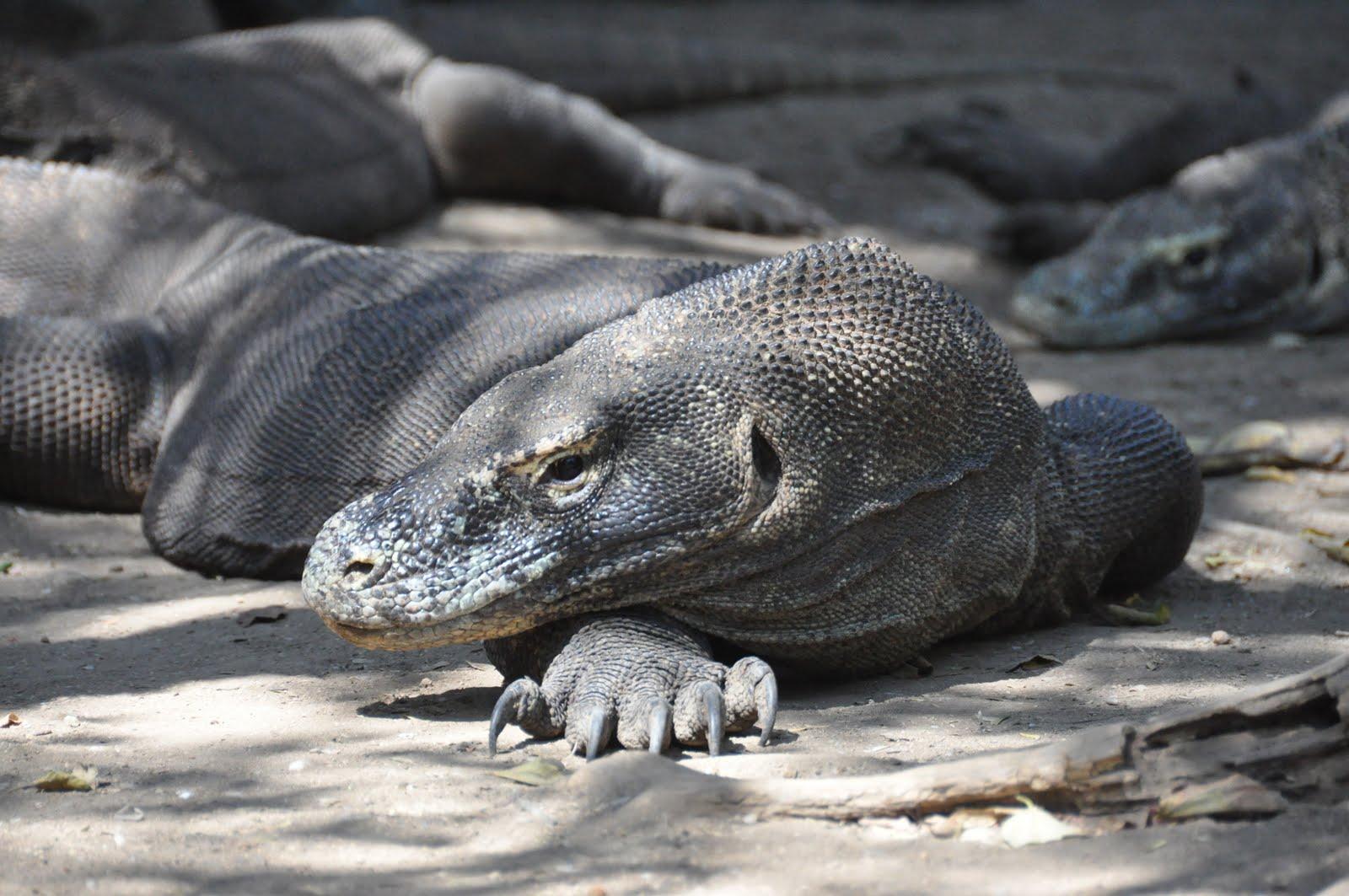 Memphis Zoo Debuts Baby Komodo Dragon » Popular Fidelity ... |Cute Baby Komodo Dragons