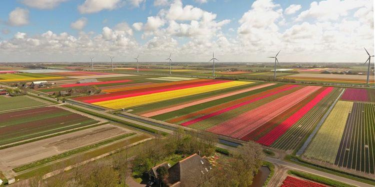 Campos de tulipanes junto a la casa