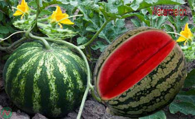 watermelon fruit; watermelon