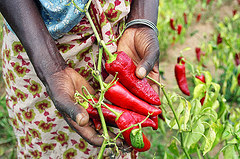 Growing peppers in Africa
