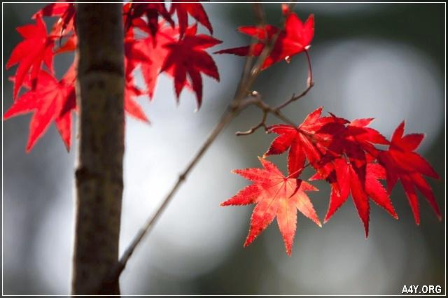lá phong đỏ của tháng 9