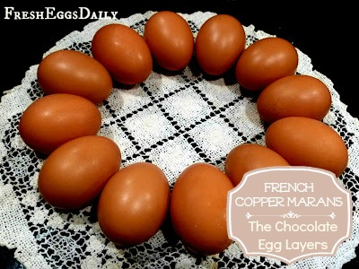 French Copper Marans - The Chocolate Egg Layers | Fresh Eggs Daily®