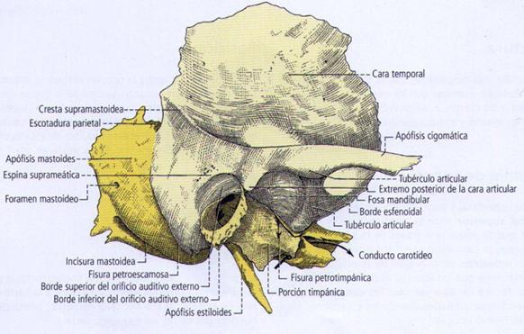 Anatomía y Neuroanatomía: Hueso Temporal. | Universidad ...