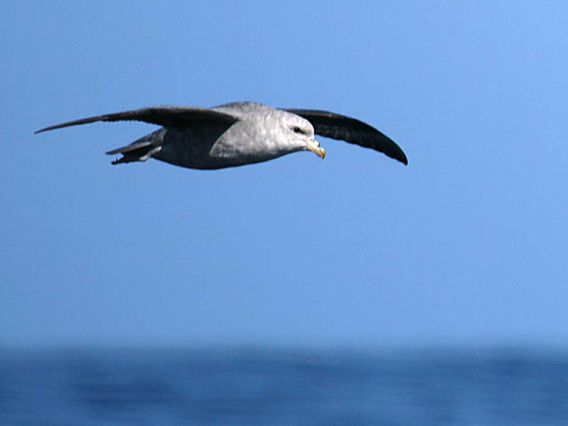 Figure 5: The pointed wings of Northern Fulmars are gently arched.