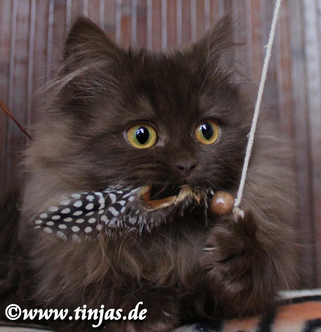 Tinjas Katzenzucht : Britisch Langhaar Mädchen chocolate