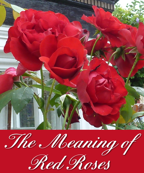Learn what red rose flowers mean and what they symbolise for giving and receiving