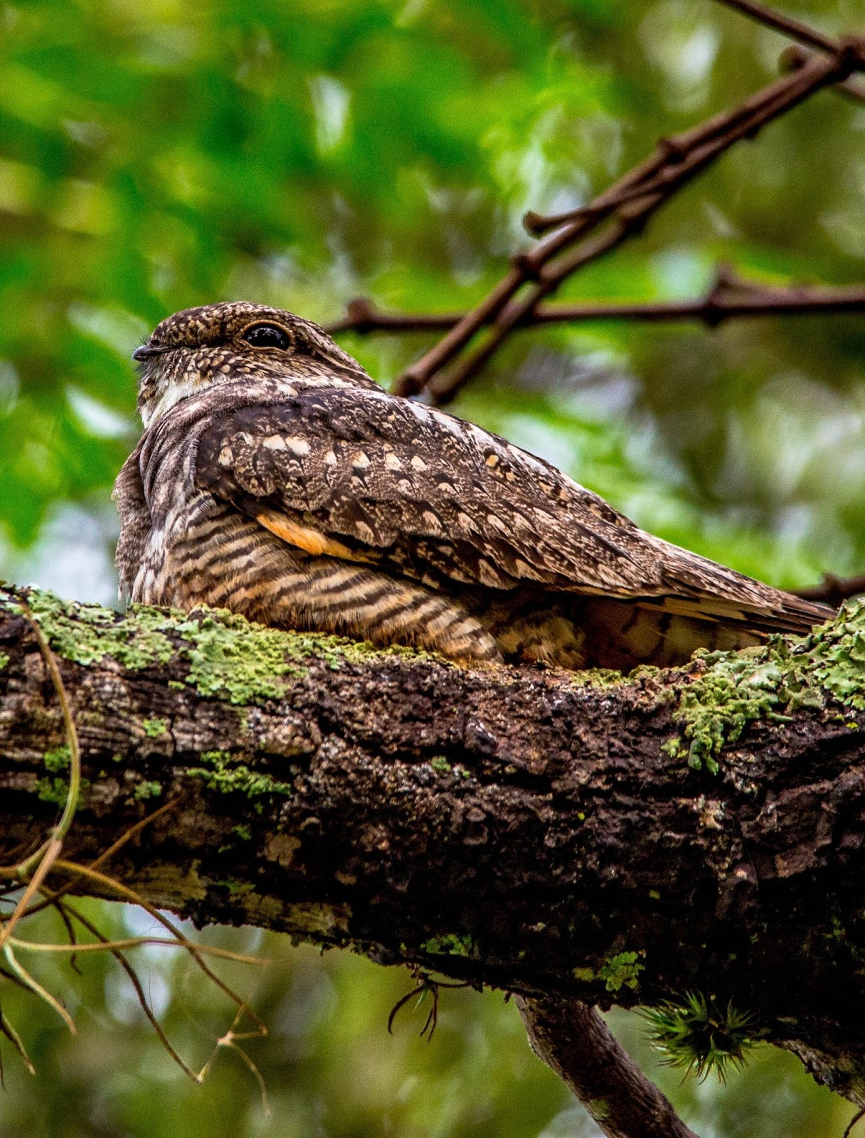 Picture of a whippoorwill bird.