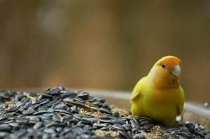 Inilah Makanan Lovebird Agar Gacor Ngekek Panjang Burung Babe