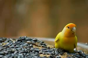 makanan lovebird