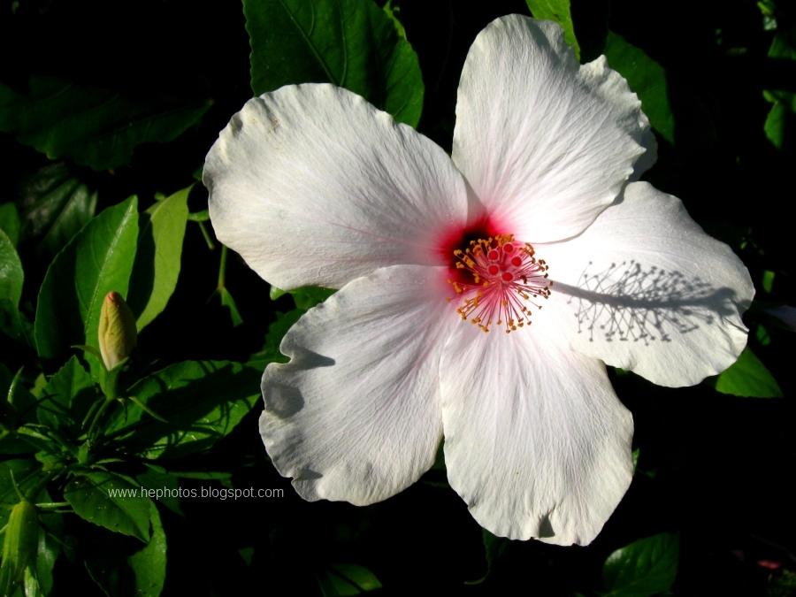 Hibiscus Flower White London Ontario Fitness