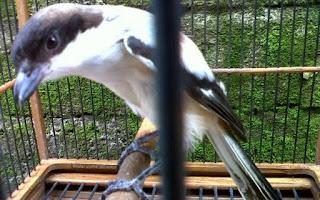 Burung Cendet - Burung Cendet yang Membisu Tidak Gacor dan Solusinya Cara Mengatasinya - Penangkaran Burung Cendet