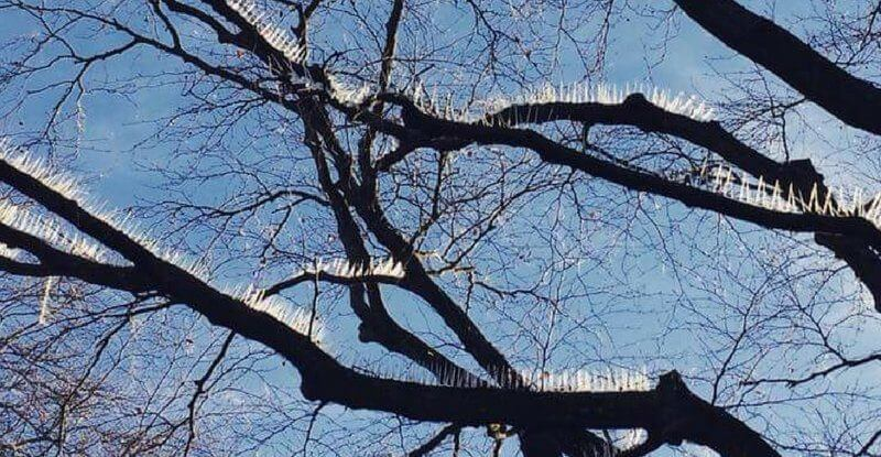 Anti-Bird Spikes On Trees In Bristol Has Led To The Residents' Reasonable Rage