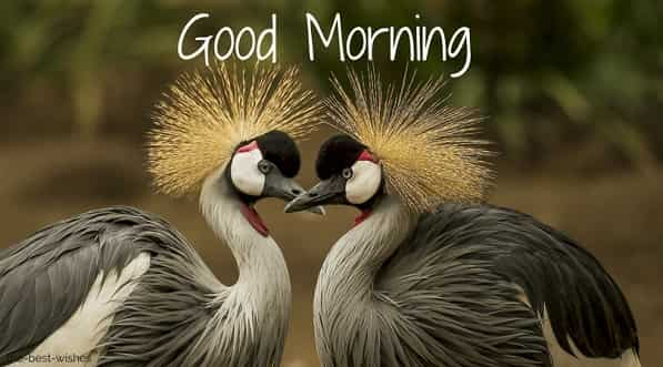 wonderful good morning image with grey crowned crane bird