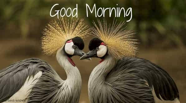 wonderful good morning image with grey crowned crane bird