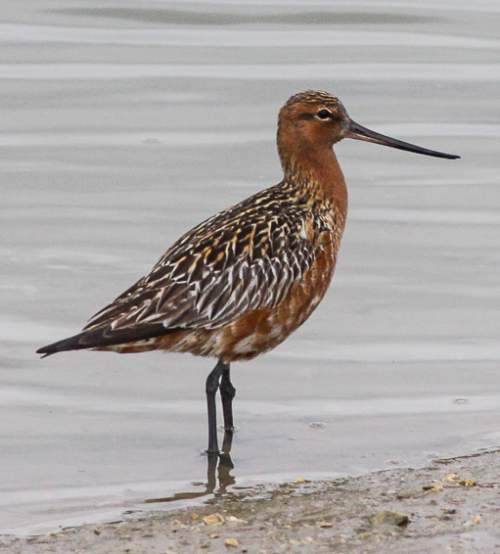 Indian birds - Picture of Bar-tailed godwit - Limosa lapponica