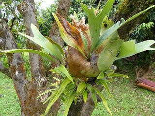 Platycerium sp. - Corne de cerf - Corne d'élan