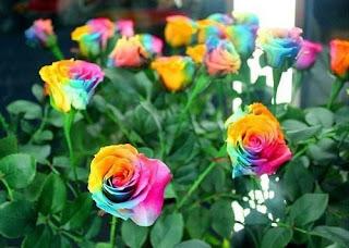 jual-benih-mawar-pelangi.jpg