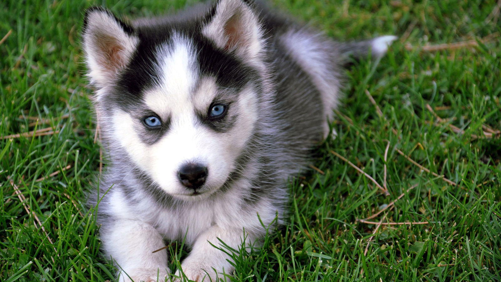 Wallpapers: Husky Baby Dog HD Wallpaper
