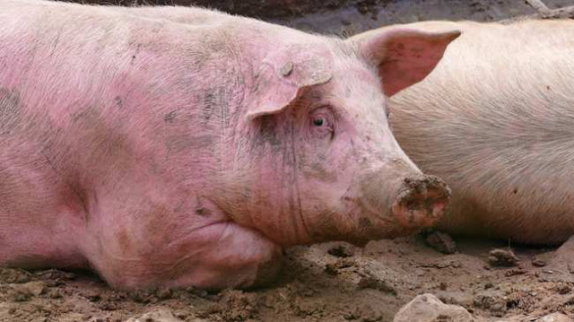 Scientists Partly Revive Dead Pigs' Brains