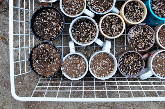 Sowing Seed in Thrift Store Mugs at A Nest for All Seasons