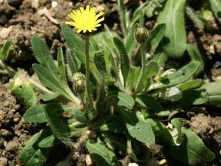 Épervière piloselle - Pilosella officinarum