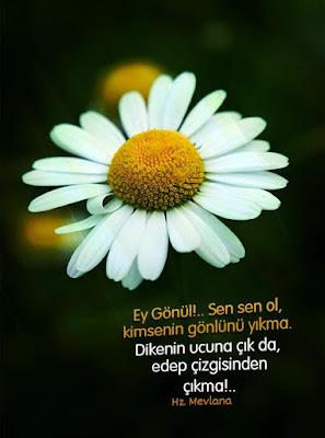 gönül, diken, papatya, çiçek, edeb, edep, hz mevlana, güzel sözler, özlü sözler, anlamlı sözler