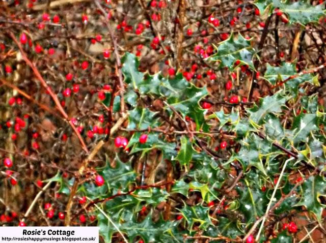 Rainfall On Scottish Holly