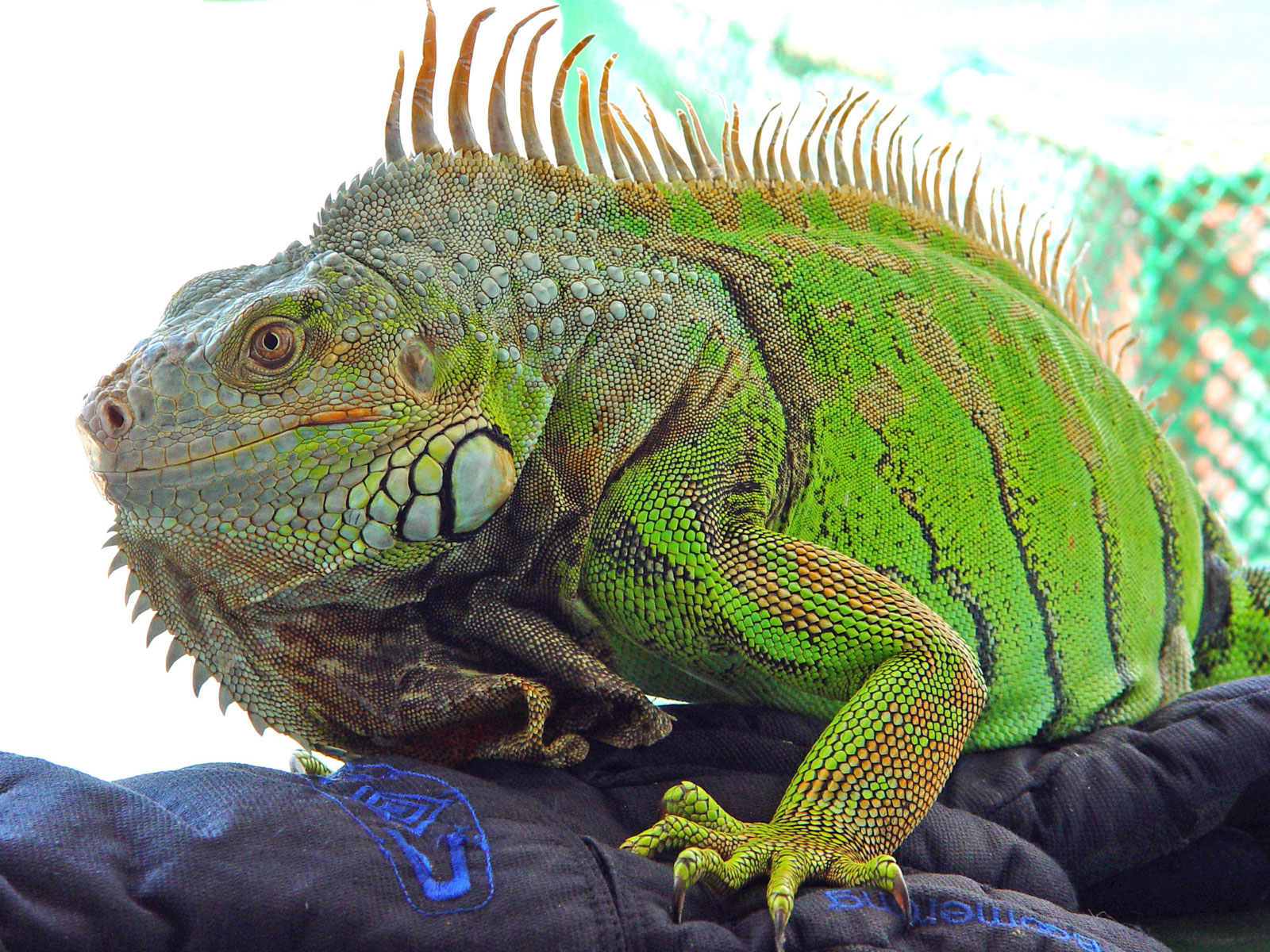 Iguana Facts And Truth on Shapes And Their Names