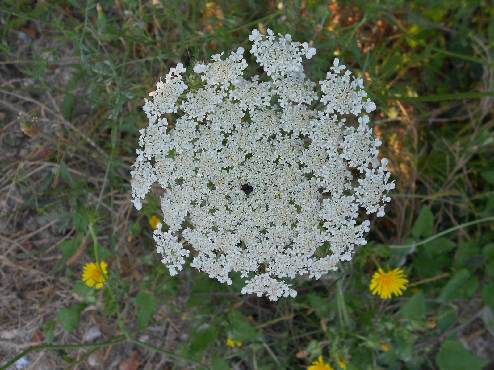 Fiori Bianchi Ottobre.Arbusti E Piante Carota Selvatica Daucus Carota