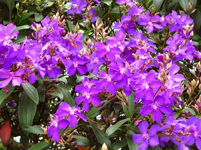 Resultado de imagem para quaresmeiras - flores