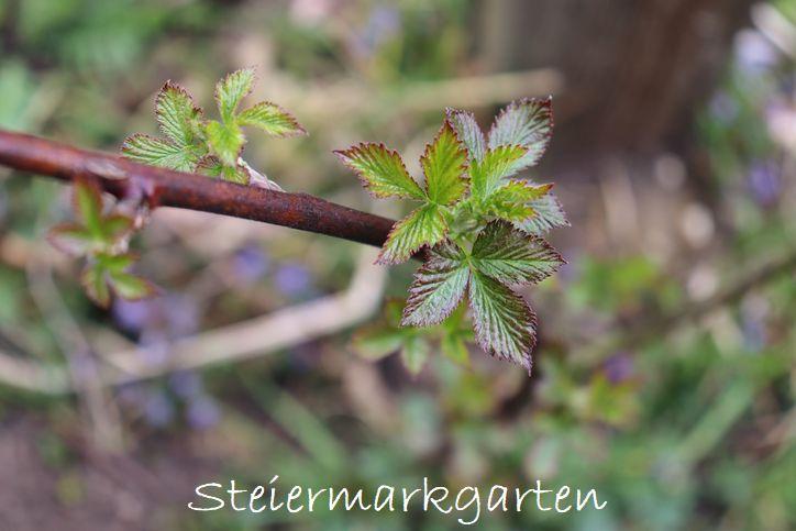 Himbeere-Steiermarkgarten