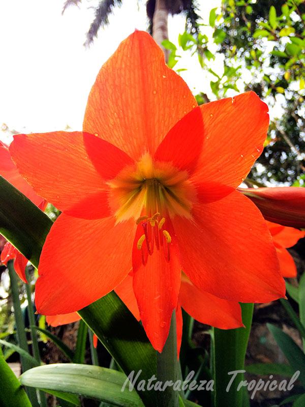 Flor Del Lirio Naranja, Hippeastrum puniceum