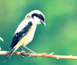 Jenis Burung Kicau Lengkap Dengan Foto dan Namanya