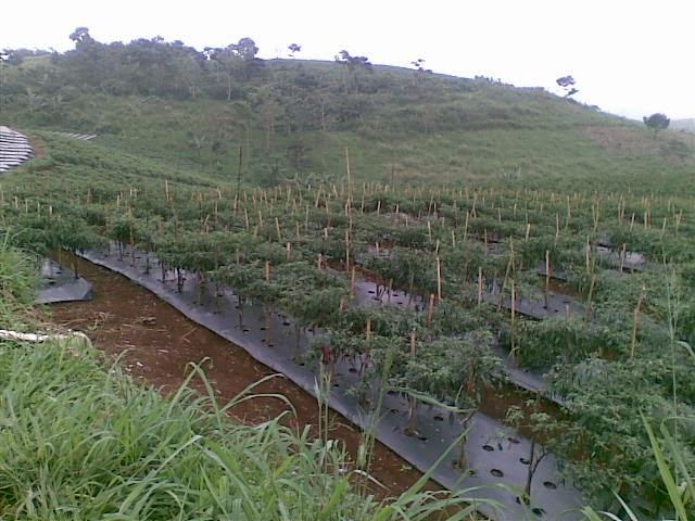 Foto(5217) Jual Tanah Milik | Kebun 23 Ha, Lokasi Puncak jual tanah di puncak