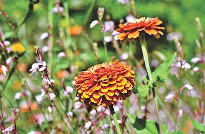 https://pixabay.com/pl/photos/cynia-%C5%82%C4%85k%C4%85-kwiaty-polne-4060396/