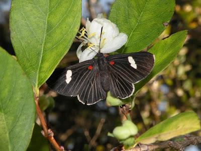 Mariposa mulata Lymnas aegates