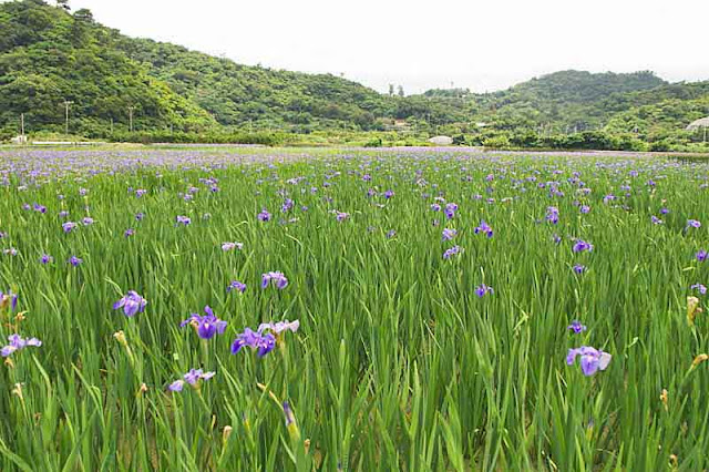 hills, fields, flowers, iris