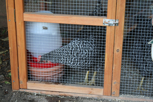 keeping a very small coop with chickens in an urban setting