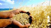 Tarlada bir çiftçinin avucundaki buğday tohumları