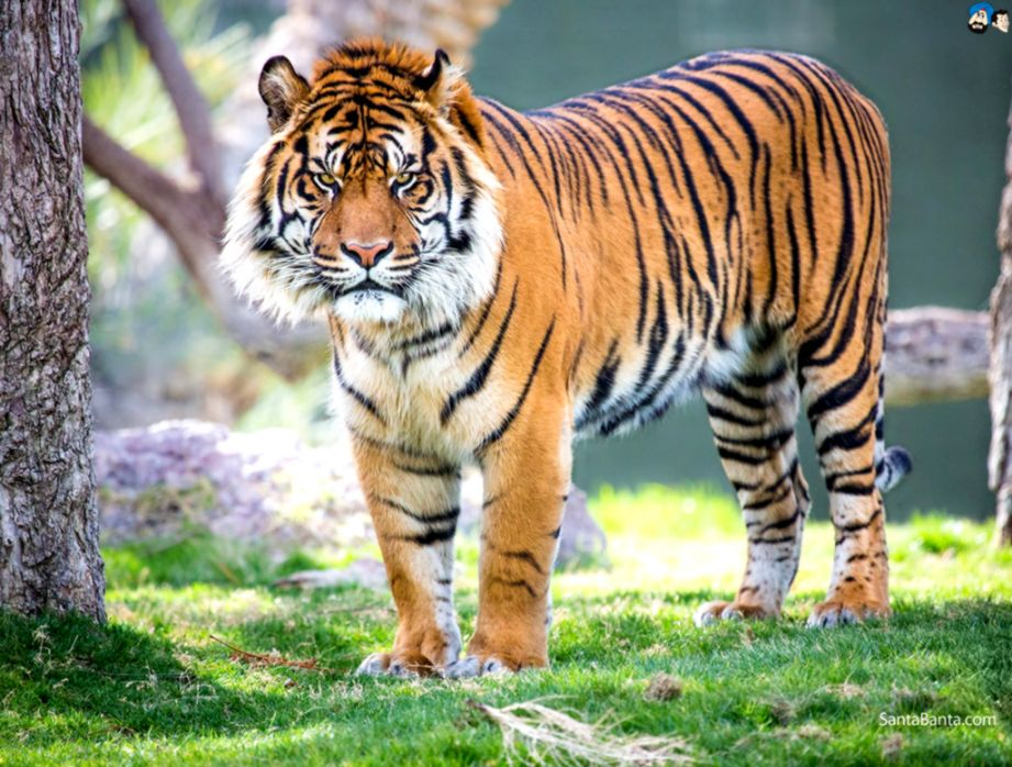 Tigers Latest Hd Wallpapers Free Download Dir Wallpapers