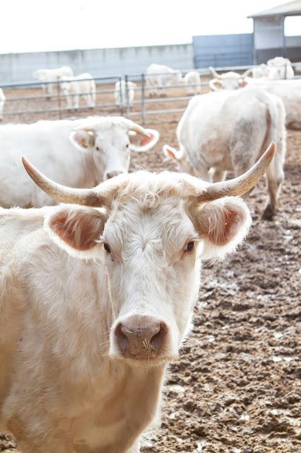 Vacche-Agriturismo il Giglio a Massama